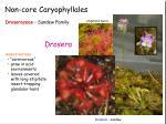 non core caryophyllales6