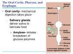 the oral cavity pharynx and esophagus