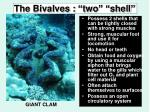 the bivalves two shell