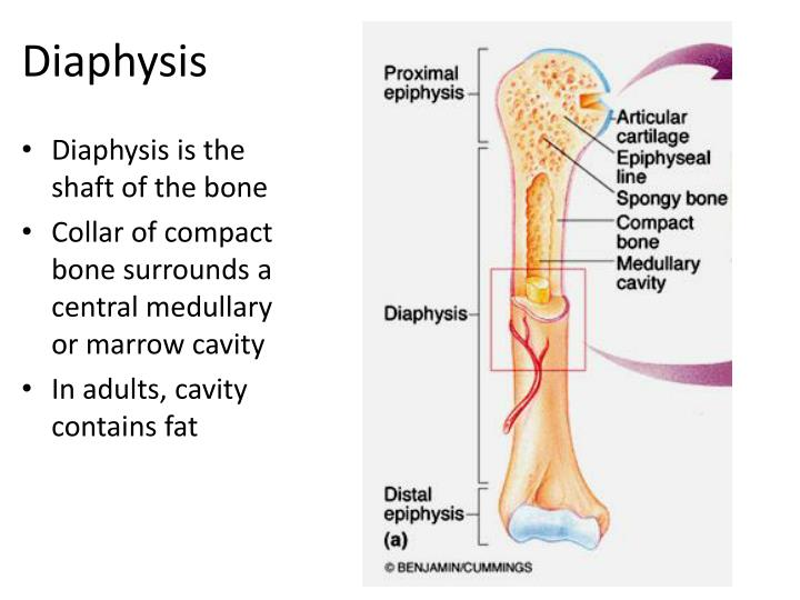 ppt structure of long bones powerpoint presentation id 2201451