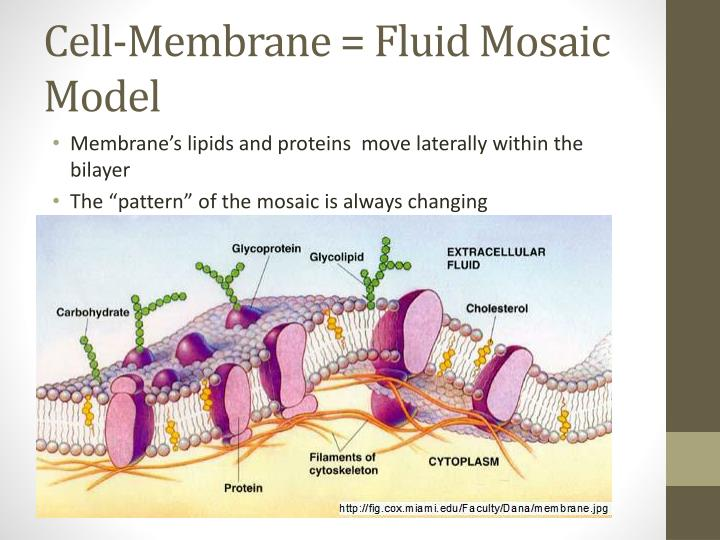 Cell membrane fluid mosaic model