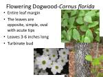 flowering dogwood cornus florida