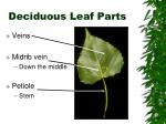 deciduous leaf parts