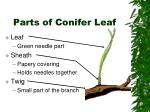 parts of conifer leaf