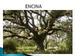 encina1