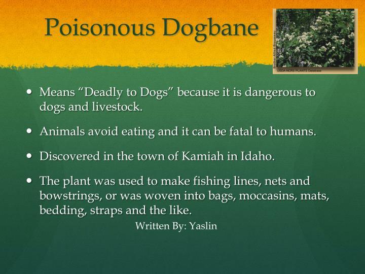 Poisonous dogbane