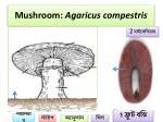 mushroom agaricus compestris
