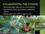 cycadophyta the cycads