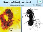 newest oldest bee fossil