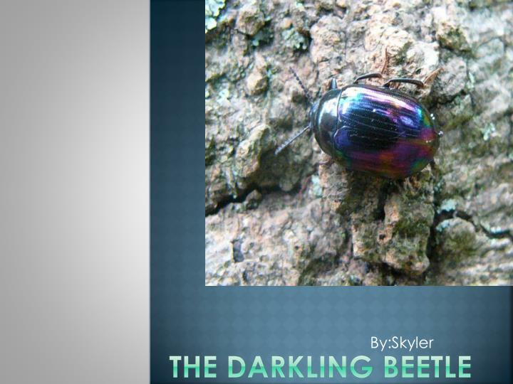 the darkling beetle n.