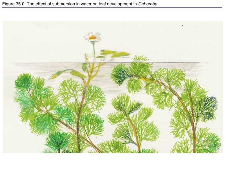 figure 35 0 the effect of submersion in water on leaf development in cabomba n.