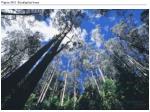 figure 36 0 eucalyptus trees