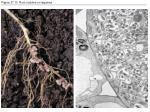 figure 37 10 root nodules on legumes