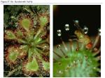 figure 37 16x sundew with fruit fly