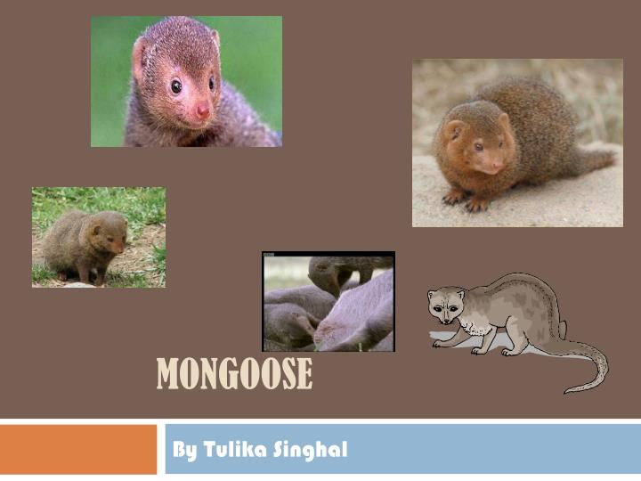 mongoose n.