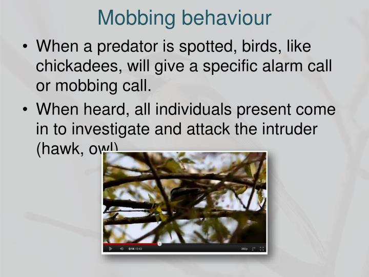 Mobbing behaviour
