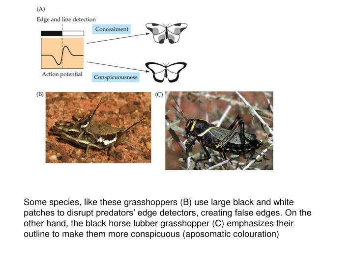 Some species, like these grasshoppers (B) use large black and white patches to disrupt predators' edge detectors, creating false edges. On the other hand, the black horse lubber grasshopper (C) emphasizes their outline to make them more conspicuous (