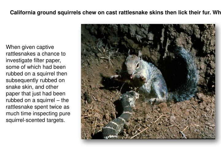 California ground squirrels chew on cast rattlesnake skins then lick their fur. Why?