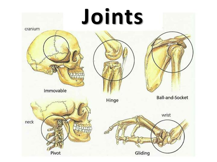 joints n.