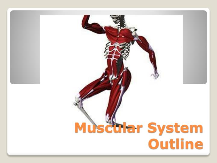 muscular system outline n.