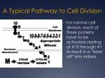 a typical pathway to cell division
