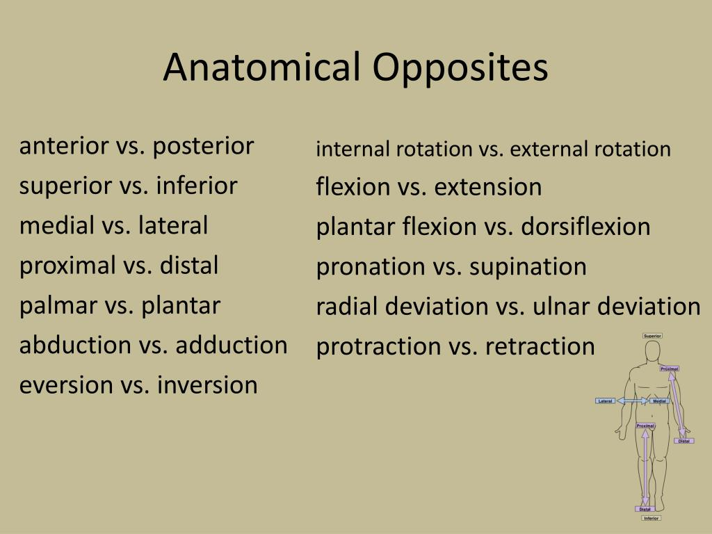 Ppt Anatomical Opposites Powerpoint Presentation Id2208664