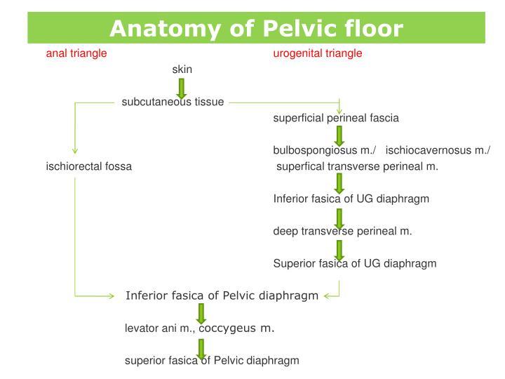 Pelvic Floor Anatomy Ppt