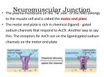 neuromuscular junction2