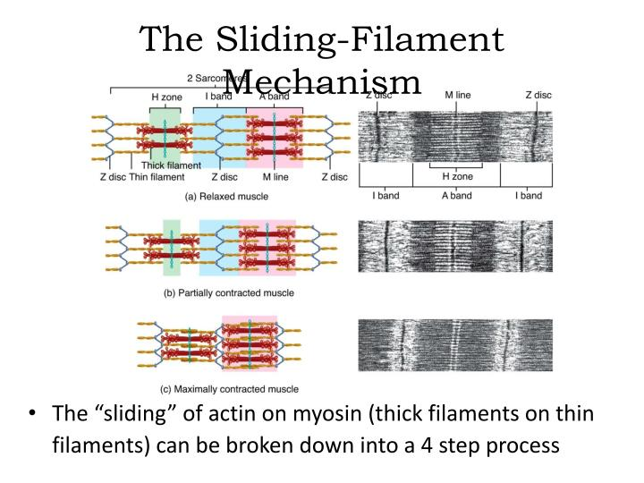 the sliding filament mechanism n.
