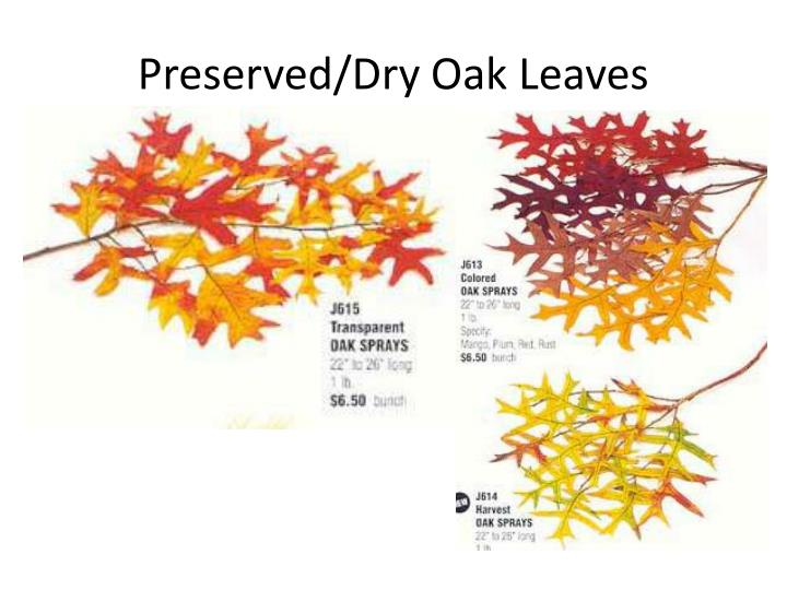 Preserved/Dry Oak Leaves
