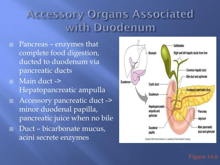 accessory organs associated with duodenum n.
