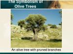the symbolism of olive trees1