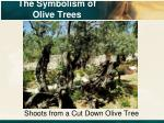 the symbolism of olive trees4