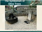 the symbolism of olive trees8