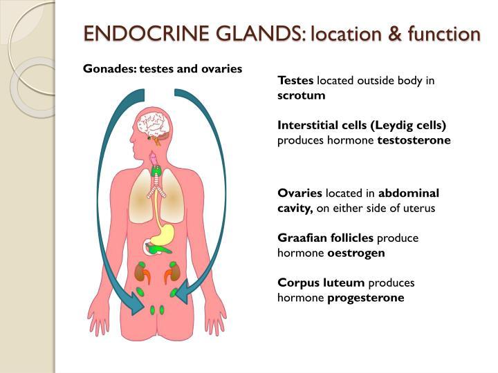 ENDOCRINE GLANDS: location & function