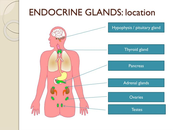 ENDOCRINE GLANDS: location