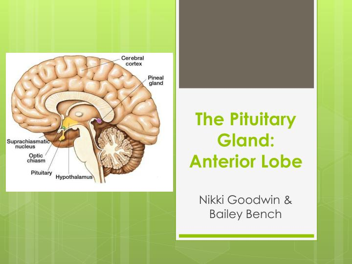the pituitary gland anterior lobe n.