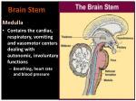 brain stem1
