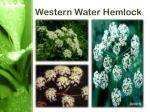 western water hemlock2