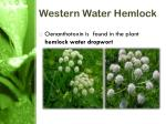 western water hemlock6