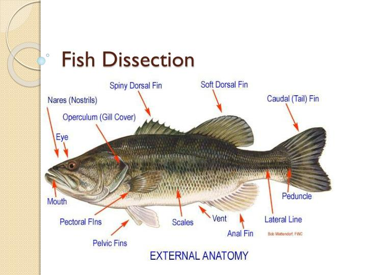 PPT - Fish Dissection PowerPoint Presentation - ID:2212525