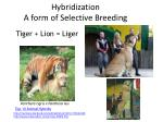 hybridization a form of selective breeding