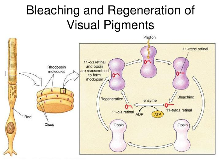 Bleaching and Regeneration of Visual Pigments