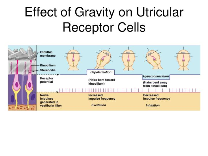 Effect of Gravity on Utricular Receptor Cells