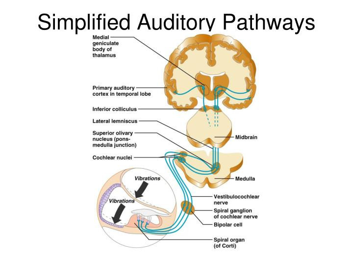 Simplified Auditory Pathways