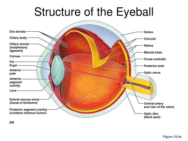 Structure of the Eyeball