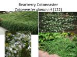 bearberry cotoneaster cotoneaster dammeri 122
