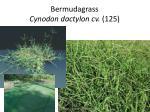 bermudagrass cynodon dactylon cv 125