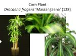 corn plant dracaena fragens massangeana 128