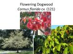 flowering dogwood cornus florida cv 121